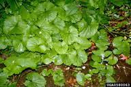 garlic mustard: Alliaria petiolata (Capparales: Brassicaceae ...