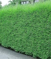 Immergr Ne Pflanzen Kaufen Bestellen Bei Baldur Garten