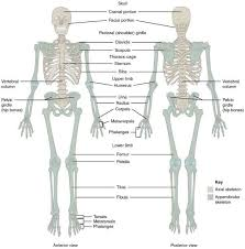 effects of swedish body massage on body image 8 skeletal system