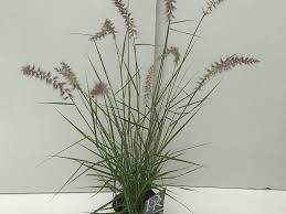 Lampepoetsersgras Pennisetum Karley Rose Directplant