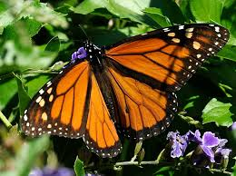 ten ways to save monarch butterflies houston chronicle