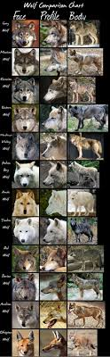Wolf Species Size Chart Wolveswolves Wolf Comparison Chart By Hdevers A Very Handy