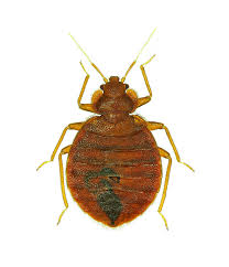 Small Brown Bugs In Kitchen Bed Bug Control Guide Bed Bug Extermination Killer Products