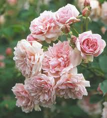 The Most Fragrant Roses For Your Garden  Shrub Pure White And FlowerFragrant Rose Plants