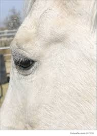 white horse face side. Exellent Face Domestic Animals Closeup Image Of Side White Horse Face And Brown Eye In White Horse Face Side E
