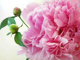 Wallpaper flower Wallpaper 53627 Pink Peony Fully Bloomed Lifewire 21 Beautiful Flower Wallpapers