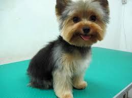 yorkshire terrier haircuts. Modren Yorkshire Yorkie Hair Cuts Yorkshire Terrier Haircut Terriers  Inside Yorkshire Terrier Haircuts R