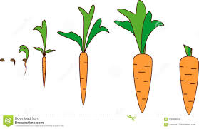 carrot plant stages. Exellent Stages Download Carrot Growth Stages Stock Vector Illustration Of Plant   118469654 Throughout Plant Stages O