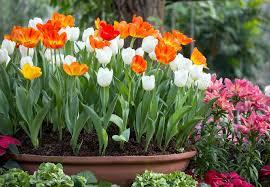 Картинки по запросу burbišķu tulpes