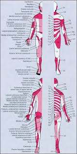 Dermatomes And Peripheral Nerves