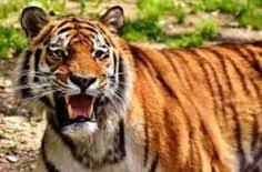 short essay on tiger the national animal of short and long short essay on save tiger one such wonderful creation of god is tiger tiger