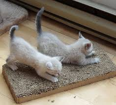 kittens scratching on a scratching pad