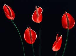 Red Flower Wallpaper Black And Red Flower Wallpaper Free Download 32 Cerc Ug Org