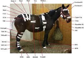 lumbosacral region in standing horses