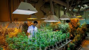 legalization of cannabis research paper marijuana legalization  medical marijuana research hits wall of u s law the new york times medical marijuana research hits