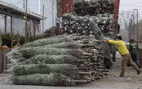 hewitt s garden center takes delivery on some of the approximately 1500 trees as worker brody