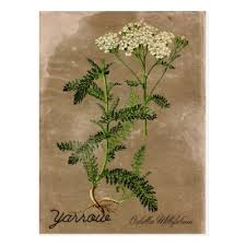 Vintage Style Rosemary Herb Postcard | Zazzle.com