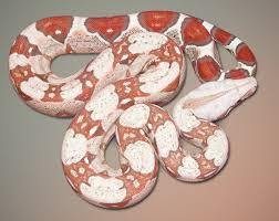 albino boa constrictors