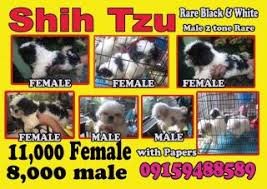 manila shih tzu pups for posted 2017 03 27
