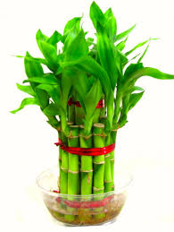 buy feng shui 2 layer lucky bamboo plant for goodluck premium quality online buy feng shui feng shui