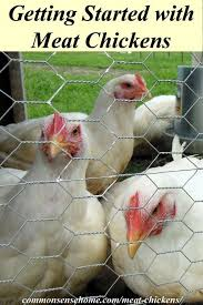 Getting Started with Meat Chickens  What you need to know about Housing  Equipment