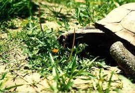 Desert Tortoise Care Sheet California Turtle Tortoise Club