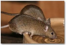 ratten verdelgen zonder gif