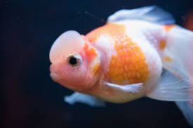 Fantail Goldfish Growth Chart Fancy Goldfish Types Tank Care Guide And Much More