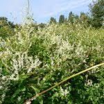 Phyla filiformis (Lippia canescens) – INVASIONS BIOLOGIQUES