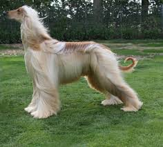 Image result for afghan hound