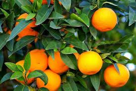 Pinterest U2022 The Worldu0027s Catalog Of IdeasSmall Orange Fruit On Tree