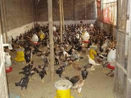 Hasil gambar untuk produk nasa untuk ayamkampung