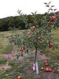 39 Best Fruit Trees Images On Pinterest  Fruit Garden Fruit Dwarf Fruit Trees Virginia