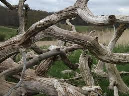 Картинки по запросу смерть від сухої гілки дерева