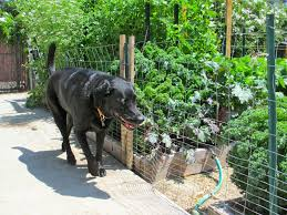 natural ways to keep your dogs out of flower beds gardens and dog