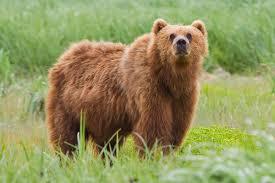 Bear Classification Chart Bear Wikipedia