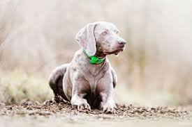 in order to keep the bloodlines pure the les of the weimar court were very careful in selecting who could have access to the puppies the weimaraner