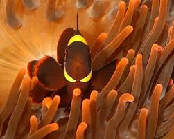 Time To Quit Clownin Around The Subfamily Amphiprioninae