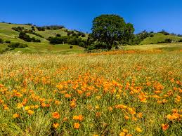 the fields of mount diablo explode with color in the spring months like this poppy