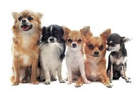 Chihuahua Color Chart Short And Long Haired Chihuahuas