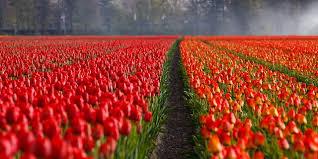 Afbeeldingsresultaat voor gratis afbeelding tulpen