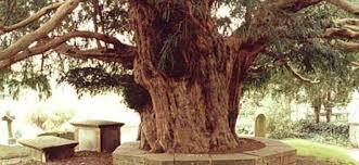 Arborele de patru secole ce nu poate fi taiat. Povestile teribile ale