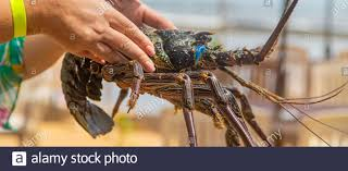 Live big lobster in the hands of people ...