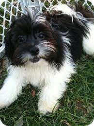 Image result for shih tzu pomeranian