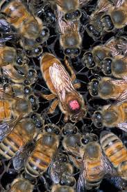 Queen Bee Colour Chart Queen Bee Wikipedia