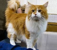 fluffy white and orange cats.  Cats Family Felidae Maine Coon Cat American Forest Longhair In Fluffy White And Orange Cats