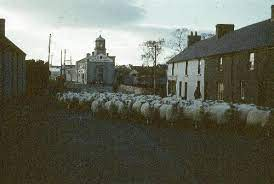 Bertie McCann and sheep – NI Archive