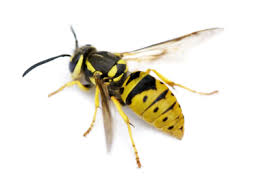 ground dwelling bees ground bees pestguy1776