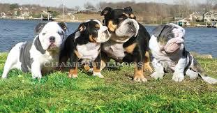 blue bulldog blue english bulldogs tri black english bulldogs blue