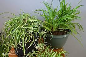 Spider plants are air purifying plants safe for dogs and cats